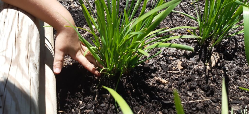 Caring for your Chinese Chives