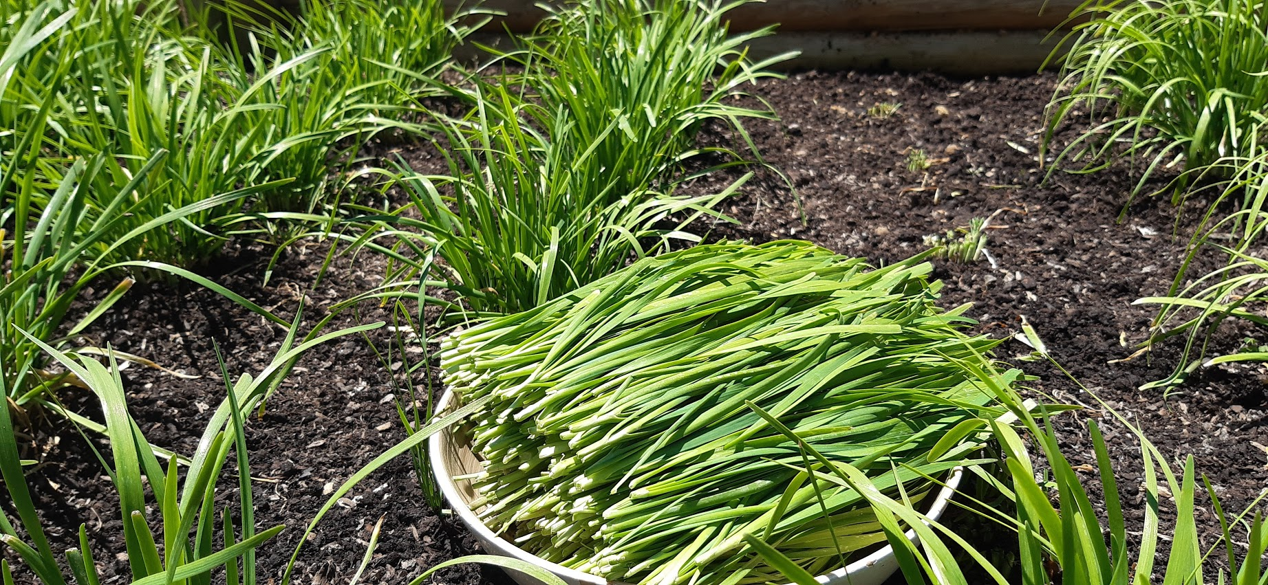 Chinese Chives harvest