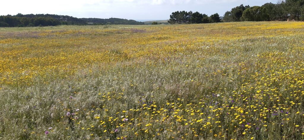 Wild flowers meadow in Ericeira